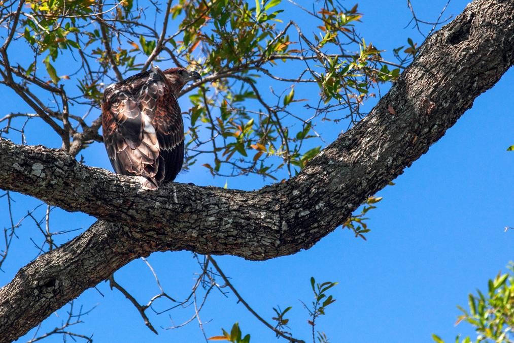Milan noir (Milvus migrans) au Botswana