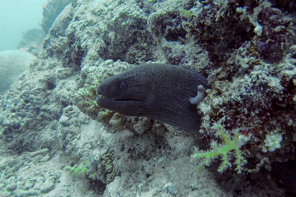 Murène javanaise (Gymnothorax javanicus) à Mayotte