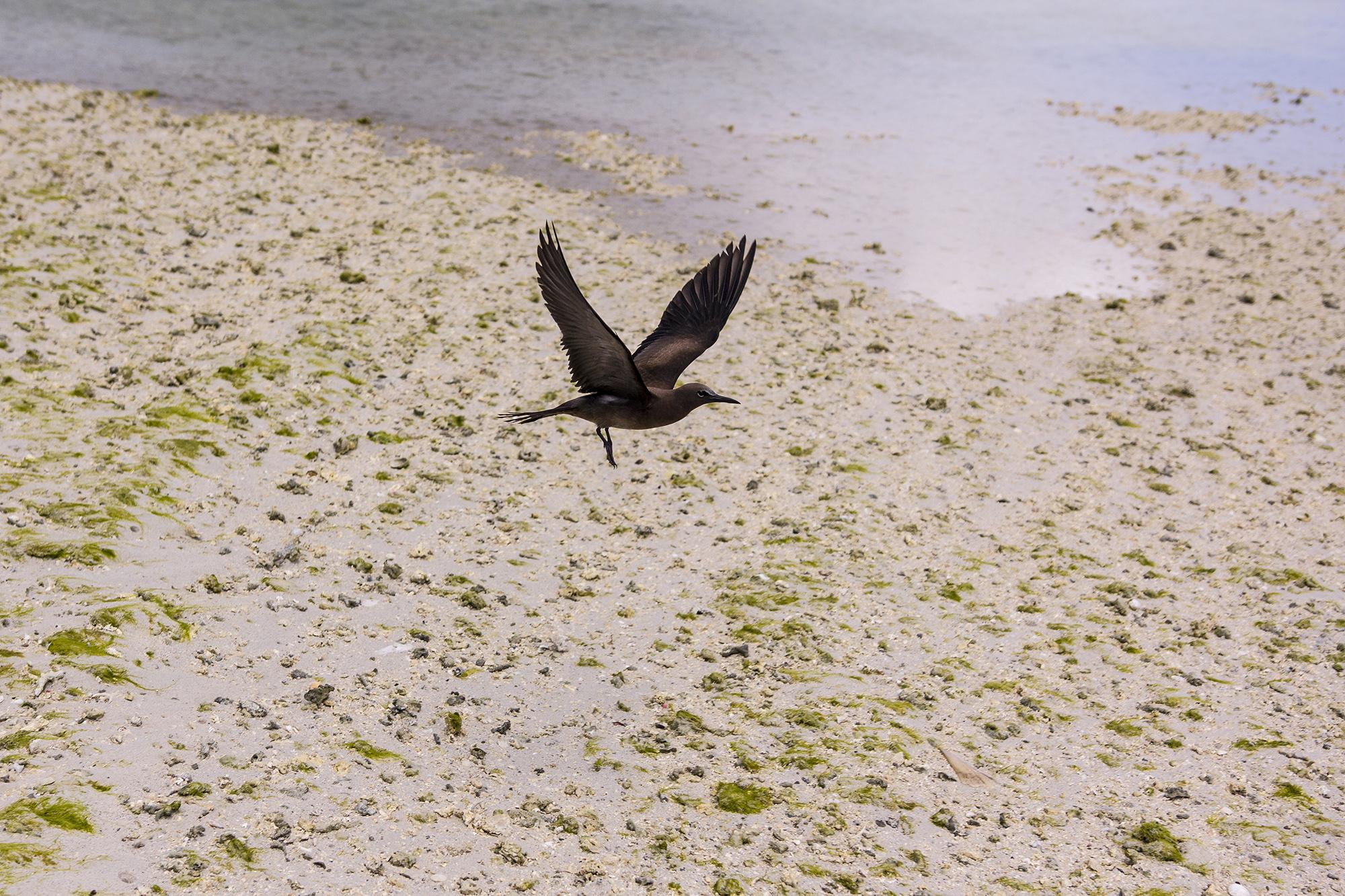 Noddi brun (Anous stolidus) à Rodrigues par Guillaume Projetti