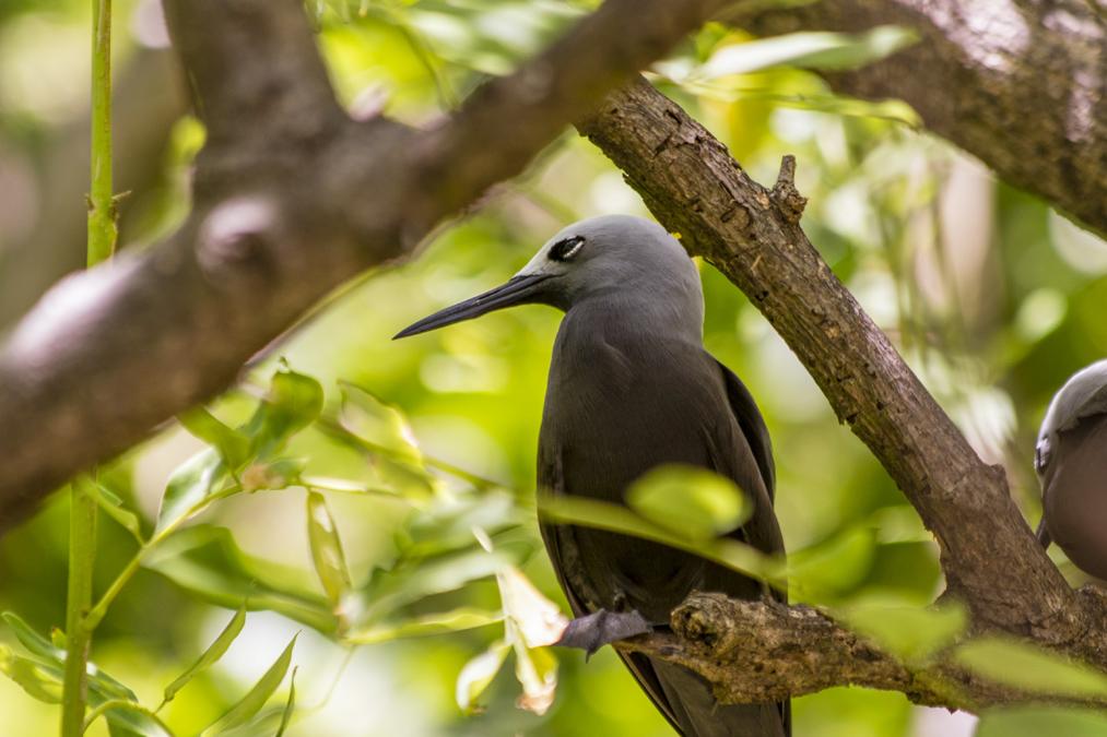 Noddi brun (Anous stolidus) aux Seychelles
