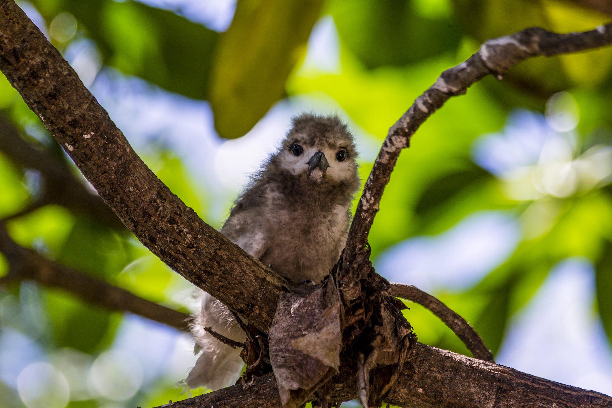 Noddi brun (Anous stolidus) aux Seychelles par Guillaume Projetti
