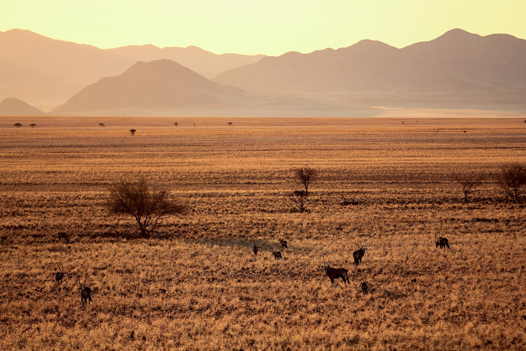 Oryx gazelle (Oryx gazella) en Namibie par Guillaume Projetti
