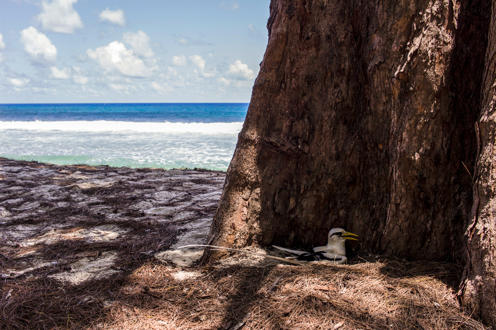 Phaéton à bec jaune (Phaethon lepturus) aux Seychelles