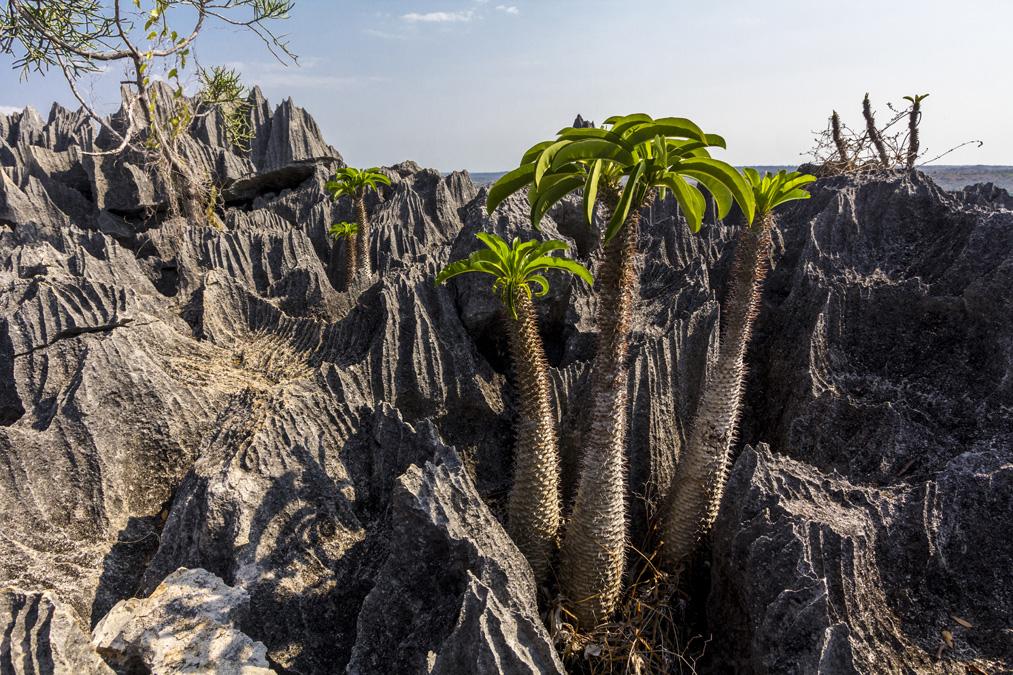 Palmier de Madagascar (Pachypodium lamerei) à Madagascar