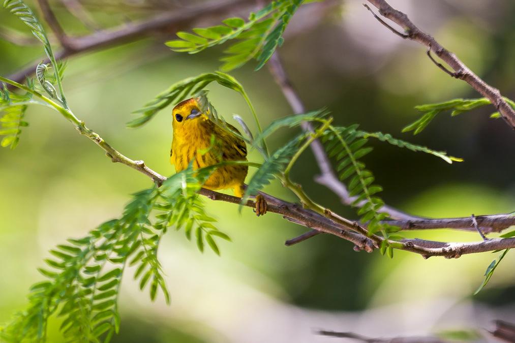 Paruline jaune (Setophaga petechia) de la Dominique