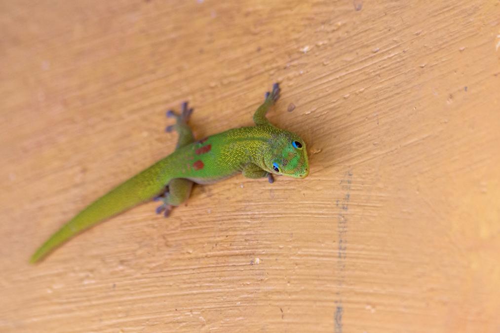 Gecko diurne à poussière d'or (Phelsuma laticauda) à Mayotte