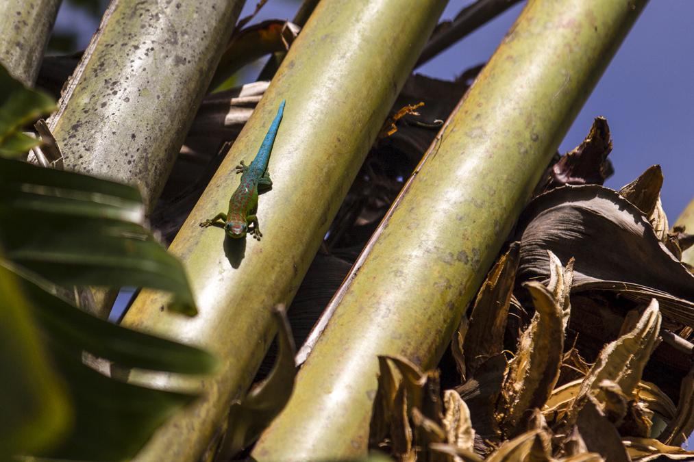 Gecko diurne à poussière d'or (Phelsuma laticauda) à Maurice