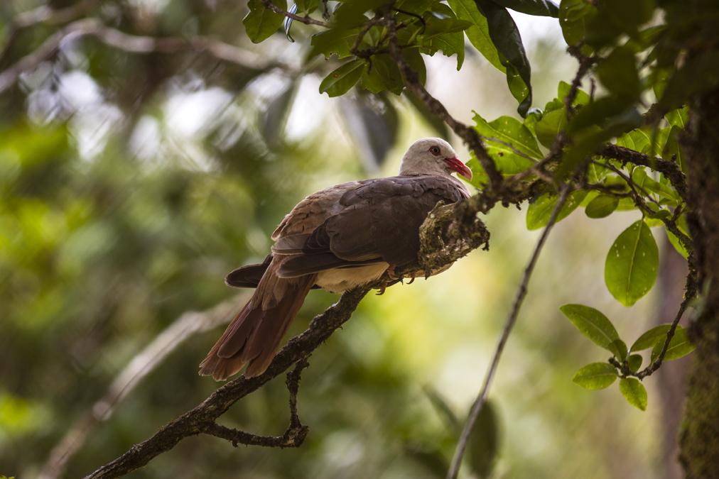 Pigeon rose (Nesoenas mayeri) à Mauirce