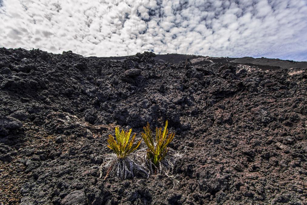 Plante sur une coulée de lave à la Réunion