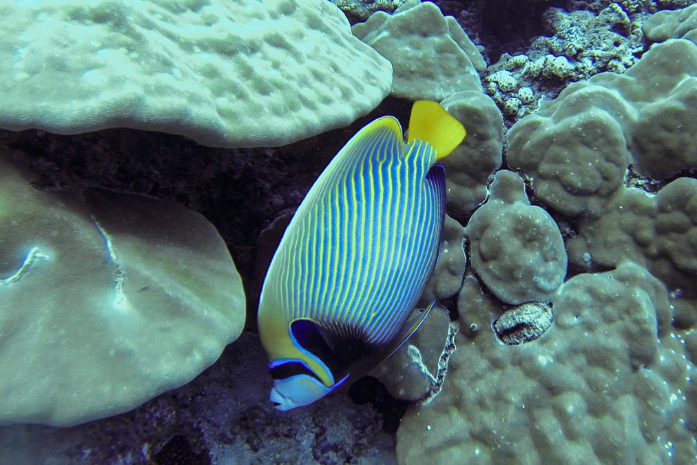 Ange de mer impérial (Pomacanthus imperator) aux Seychelles