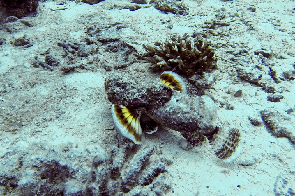 Rascasse à filament (Inimicus filamentosus) aux Seychelles