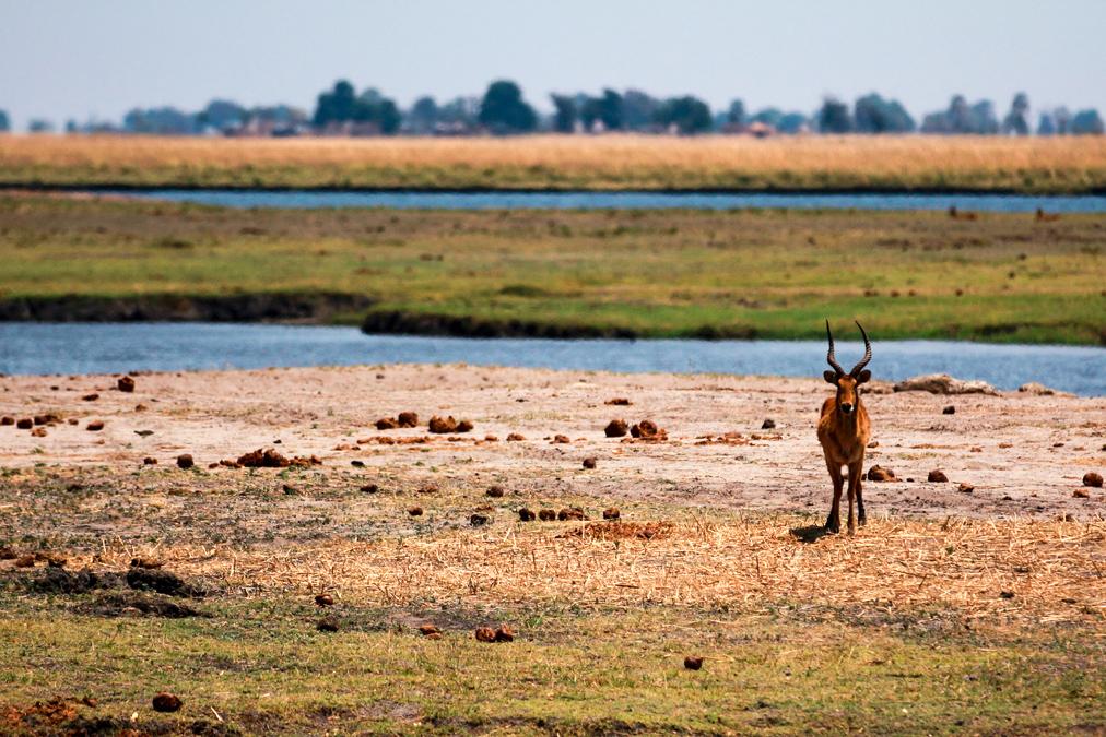 Puku (Kobus vardonii) au Botswana