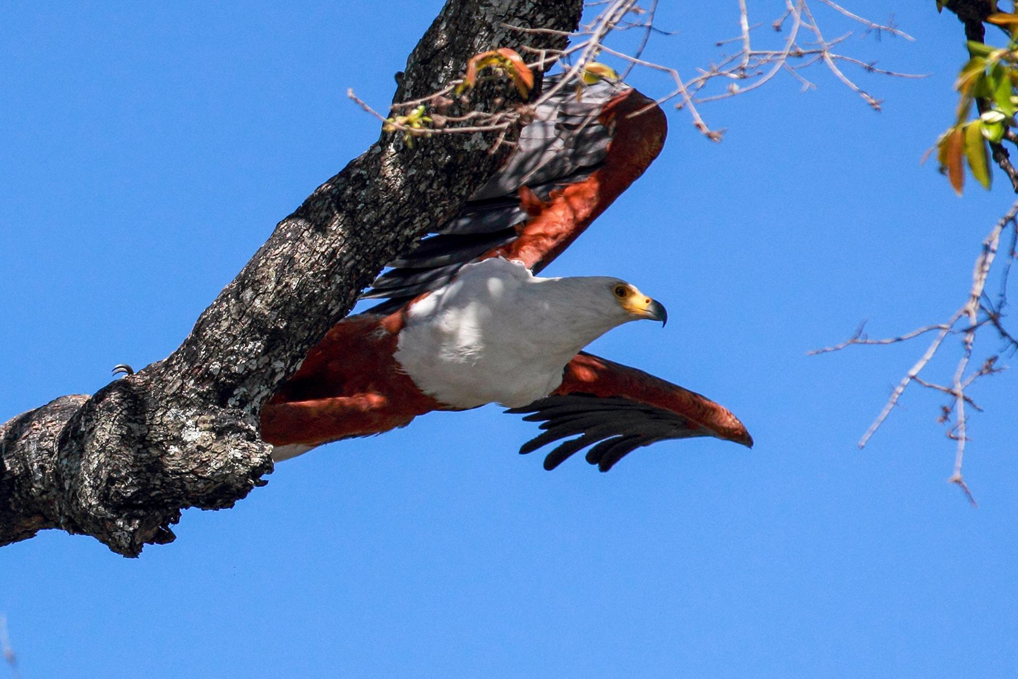 Pygargue vocifère (Haliaeetus vocifer) au Botswana par Guillaume Projetti