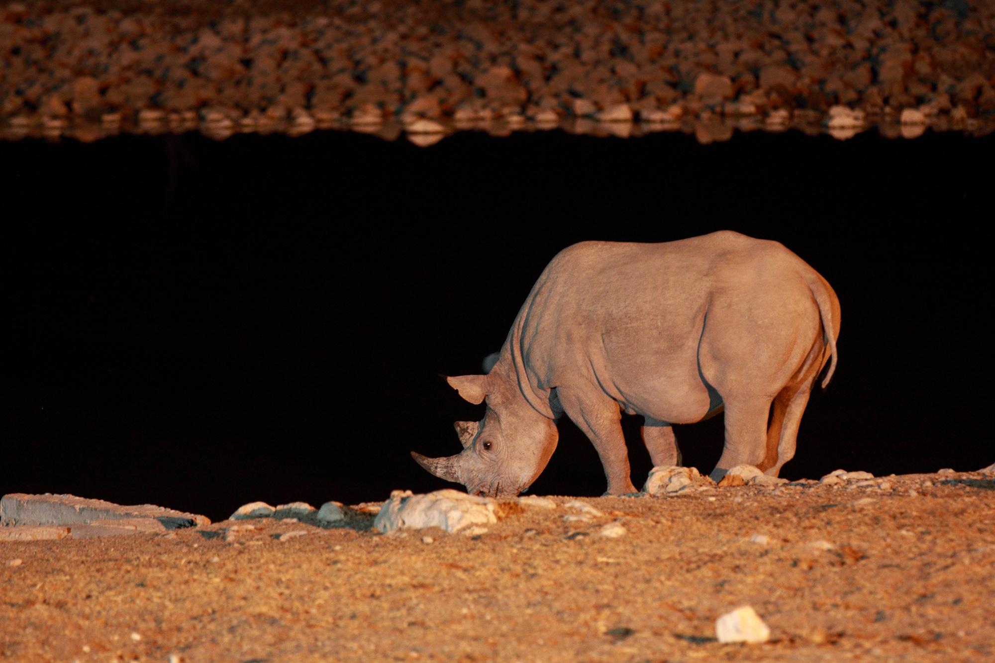 Rhinocéros noir (Diceros bicornis) en Namibie par Guillaume Projetti