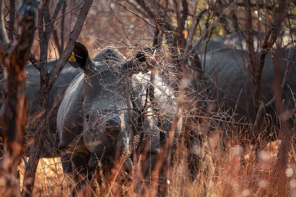 Rhinocéros blanc (Ceratotherium simum) au Zimbabwe