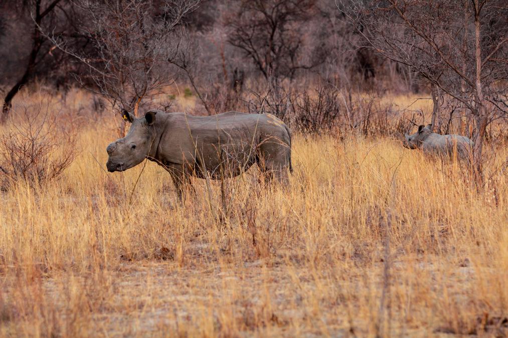 Rhinocéros noir (Diceros bicornis) au Zimbabwe