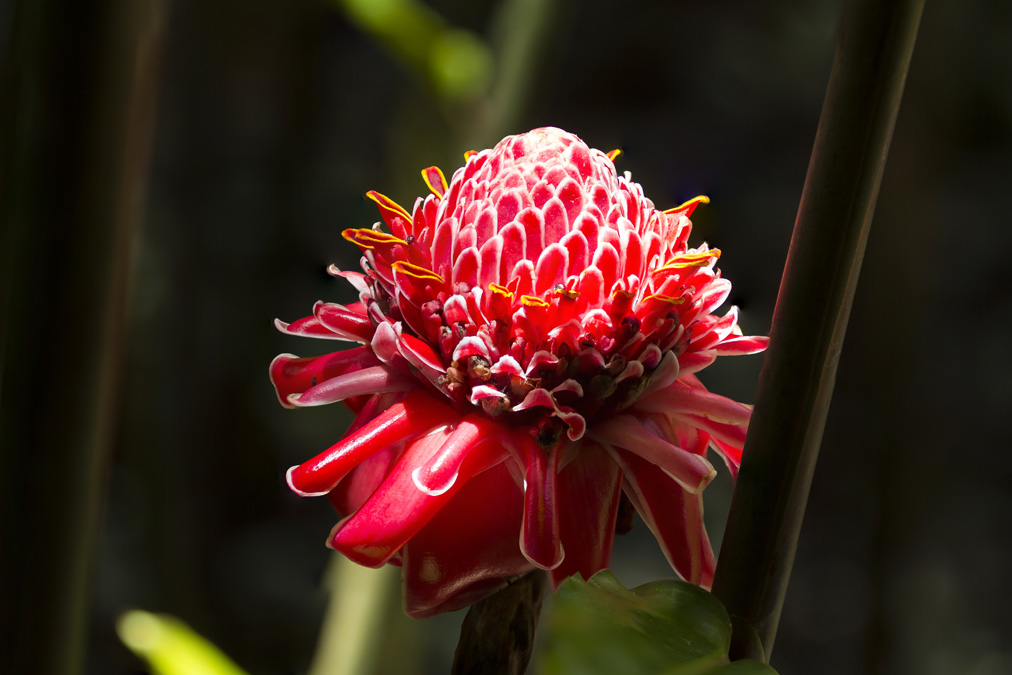 Rose de porcelaine (Etlingera elatior) en Martinique