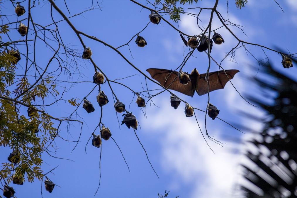 Roussette noire (Pteropus niger) à Maurice