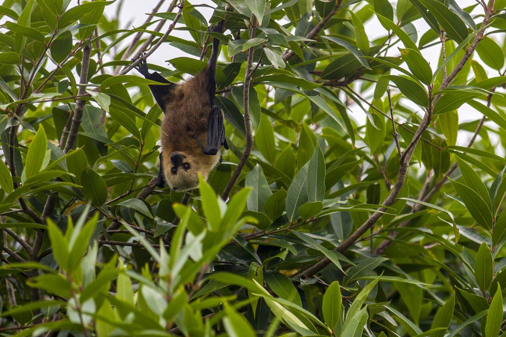 Roussette noire (Pteropus niger) à Rodrigues