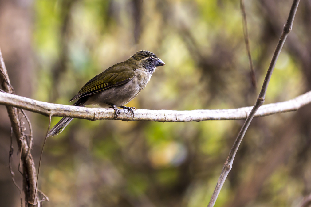 Saltator gros-bec (Saltator albicollis) de la Dominique