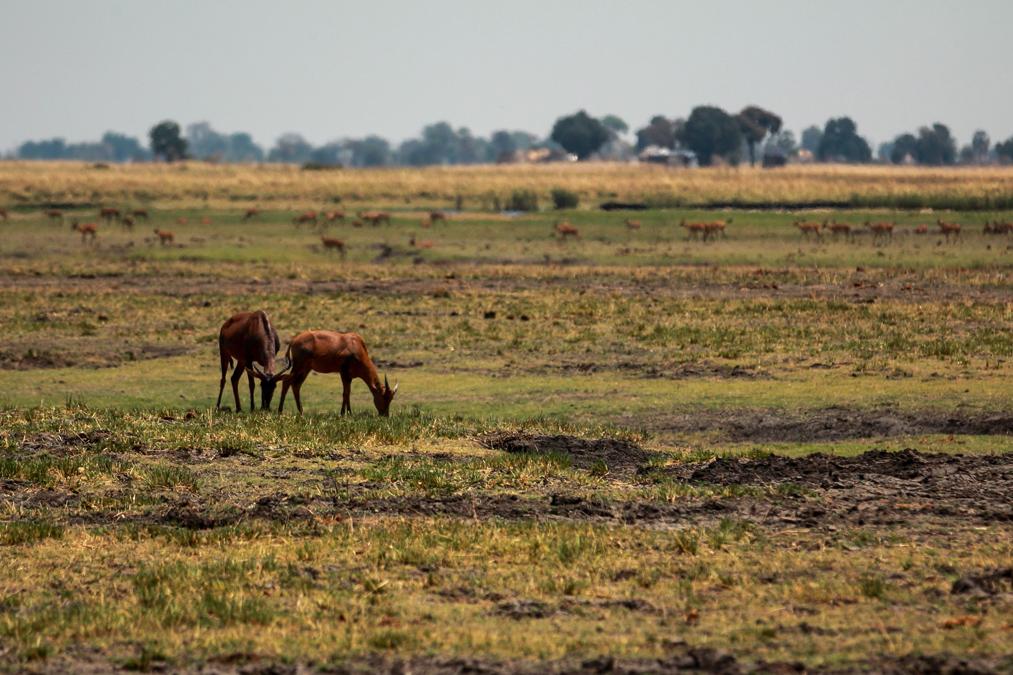 Sassabi (Damaliscus lunatus) au Botswana