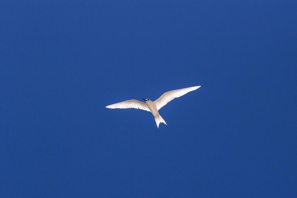 Gygis blanche (Gygis alba) aux Seychelles