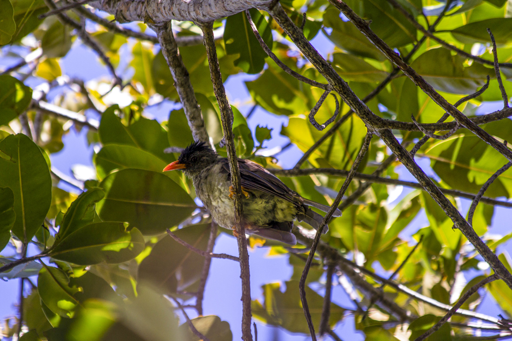Bulbul merle (Hypsipetes crassirostris) aux Seychelles