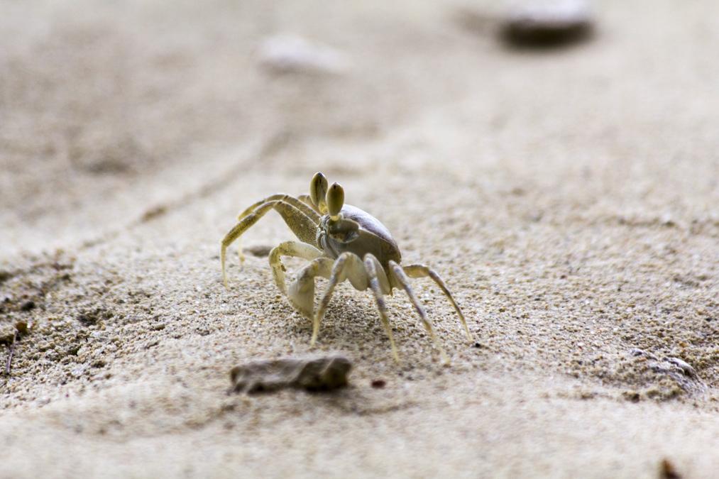 Crabe aux Seychelles
