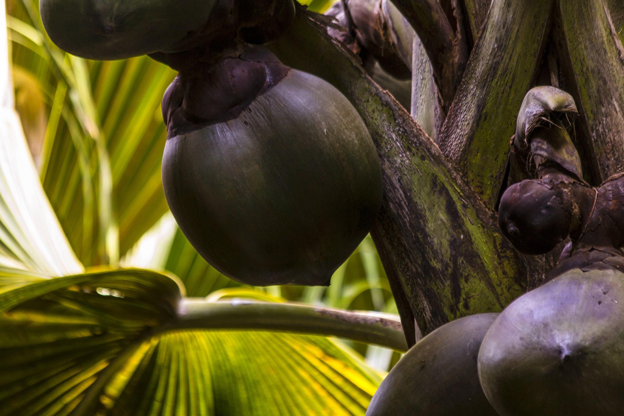 Cocotier de mer ou coco-fesse aux Seychelles par Guillaume Projetti