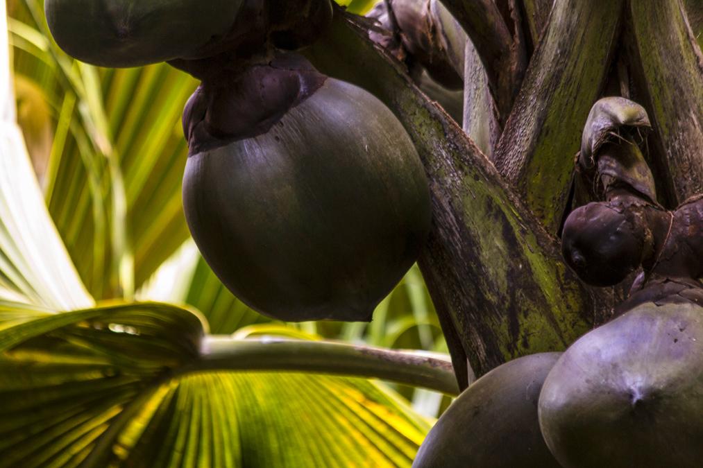 Cocotier de mer ou coco-fesse aux Seychelles