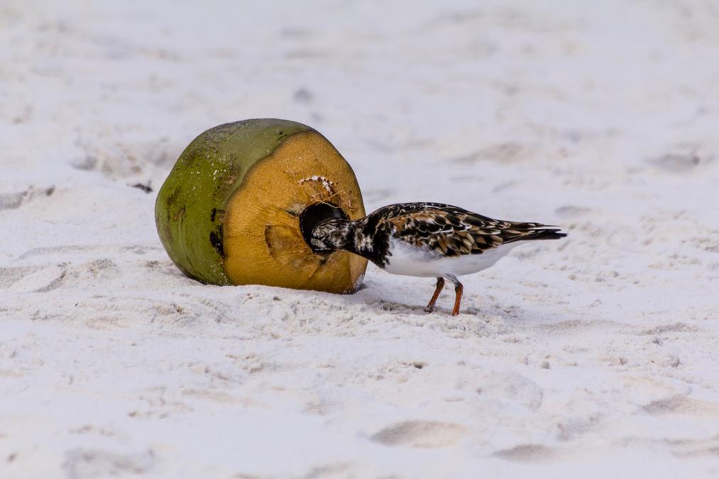 Bécasseau falcinelle (Calidris falcinellus) aux Seychelles