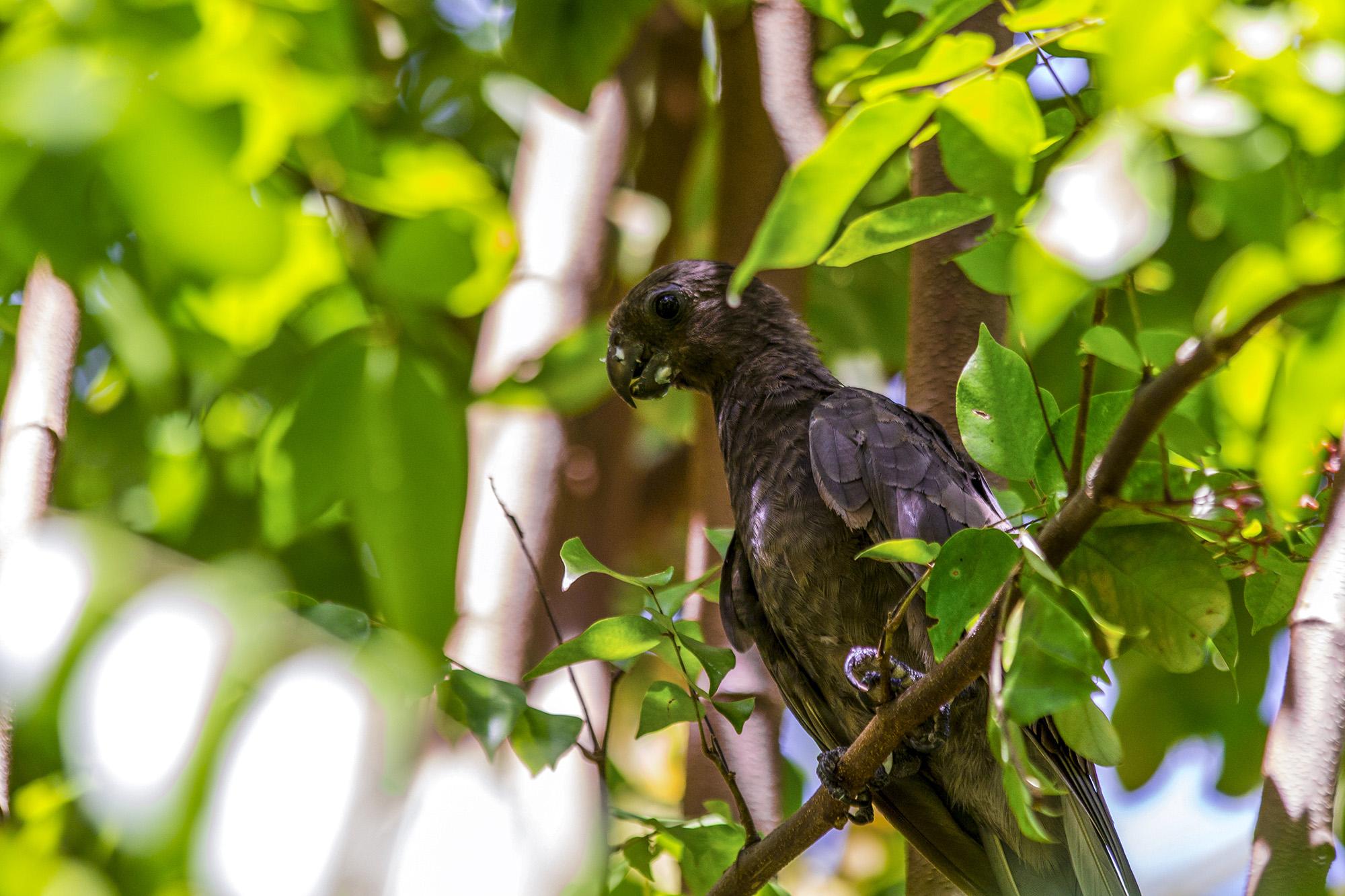 Perroquet noir (Coracopsis nigra) aux Seychelles par Guillaume Projetti