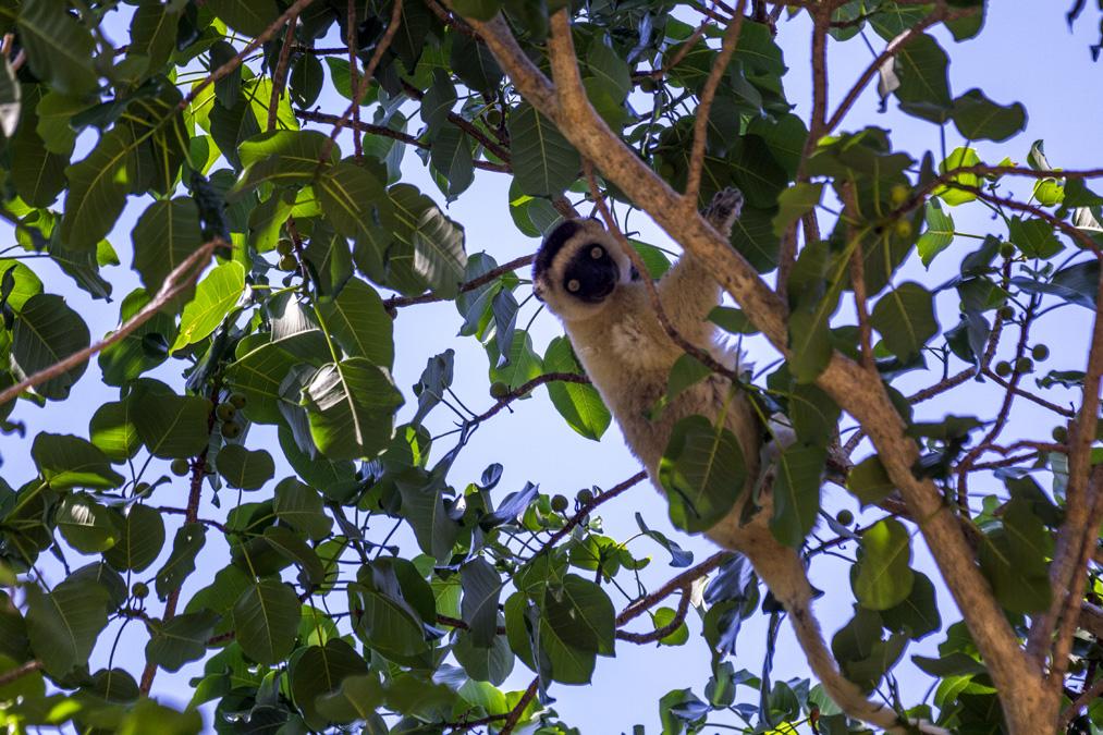 Sifaka (Propithecus verreauxi) à Madagascar