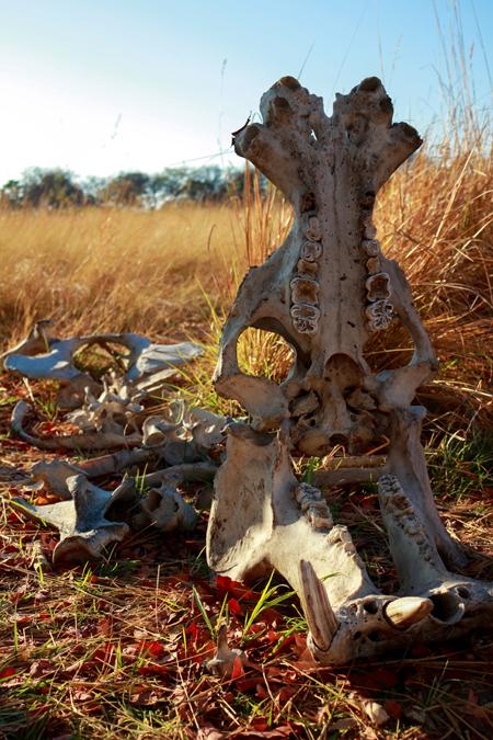 Squelette d'hippopotame au Botswana