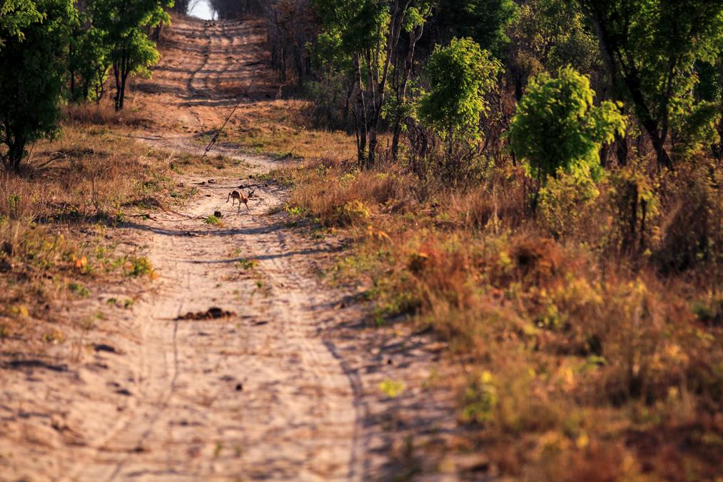 Steenbok (Raphicerus campestris) au Zimbabwe
