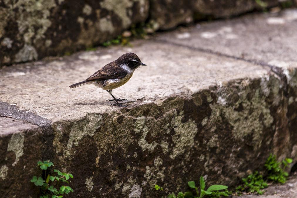 Tarier de la Réunion (Saxicola tectes) à la Réunion