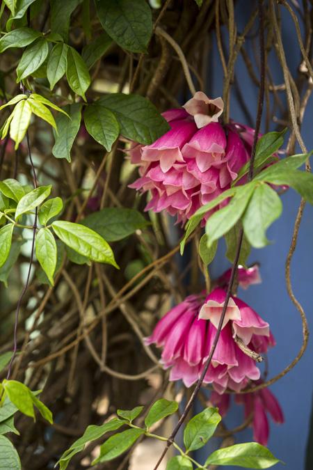 Tecomanthe dendrophylla à la Réunion