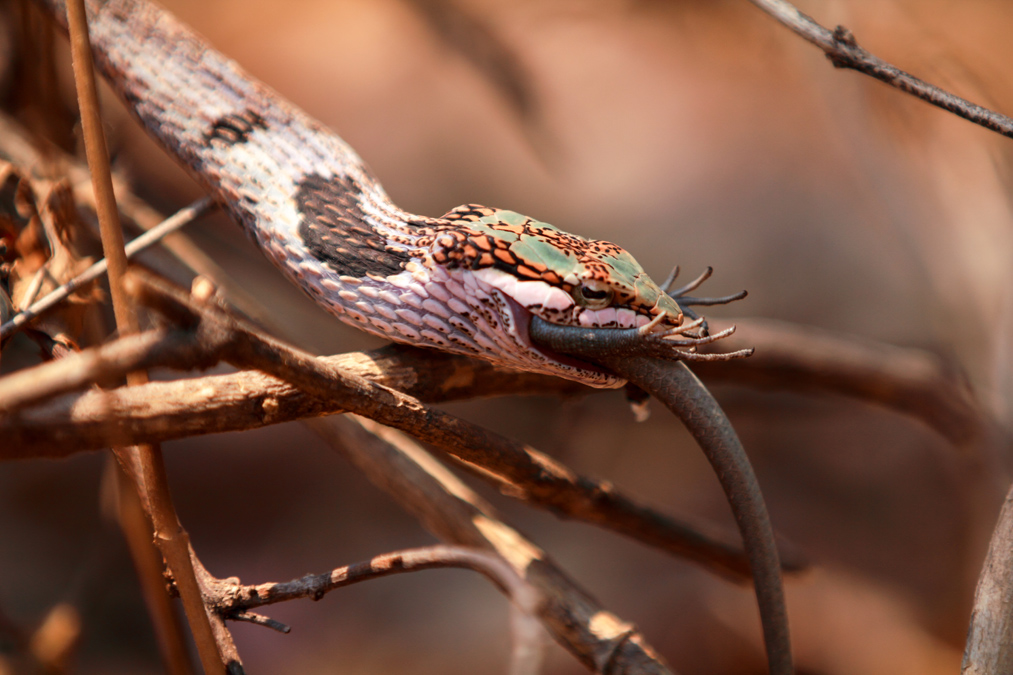Serpent liane africain (Thelotornis mossambicanus) au Botswana