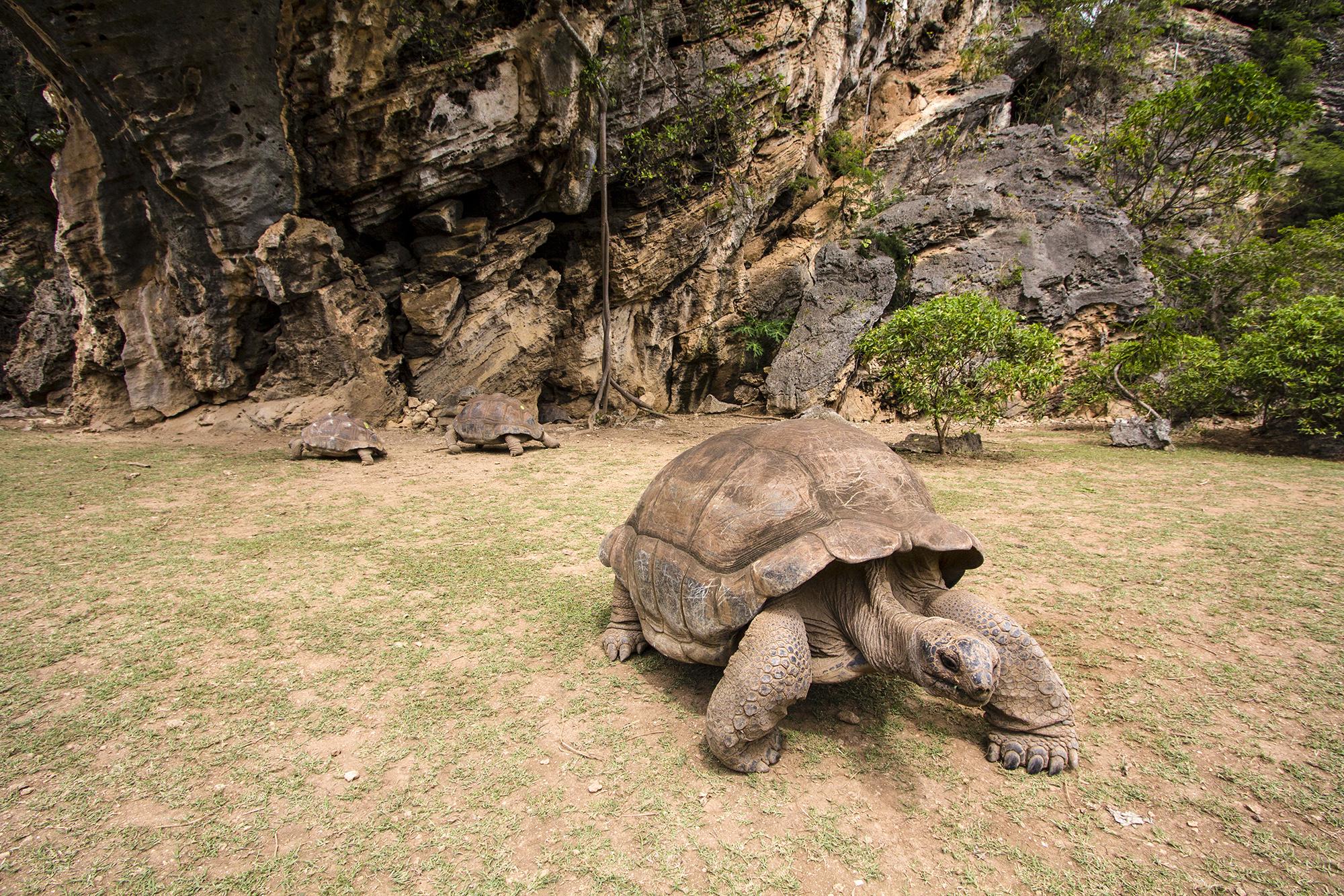 Tortue géante des Seychelles (Aldabrachelys gigantea) à Rodrigues par Guillaume Projetti