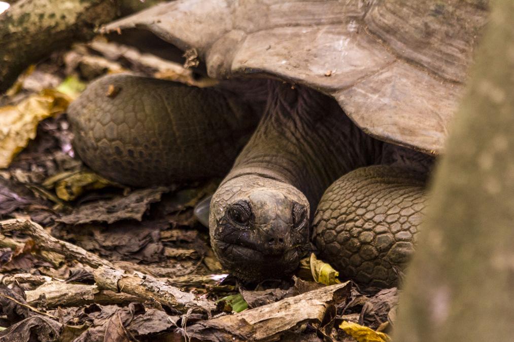 Tortue géante des Seychelles (Aldabrachelys gigantea) aux Seychelles