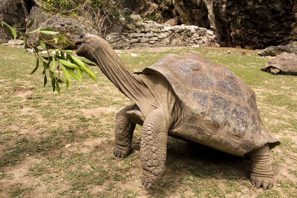Tortue géante des Seychelles (Aldabrachelys gigantea) à Rodrigues