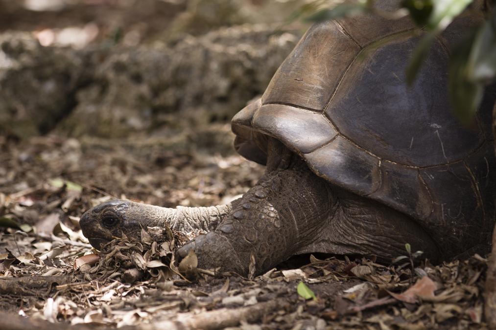 Tortue géante des Seychelles (Aldabrachelys gigantea) à Maurice