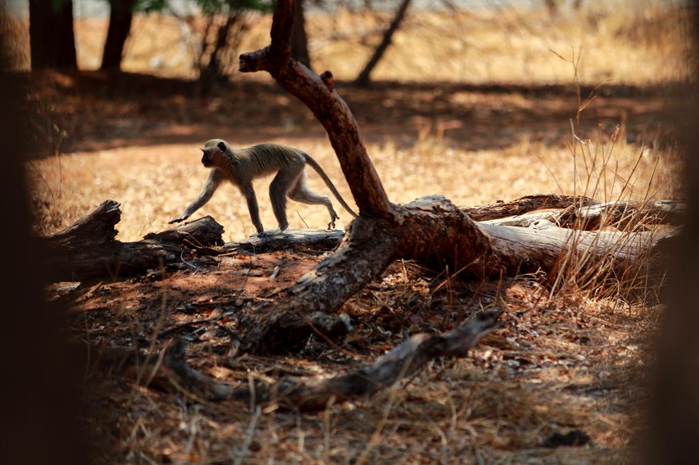 Vervet (Chlorocebus pygerythrus) au Botswana