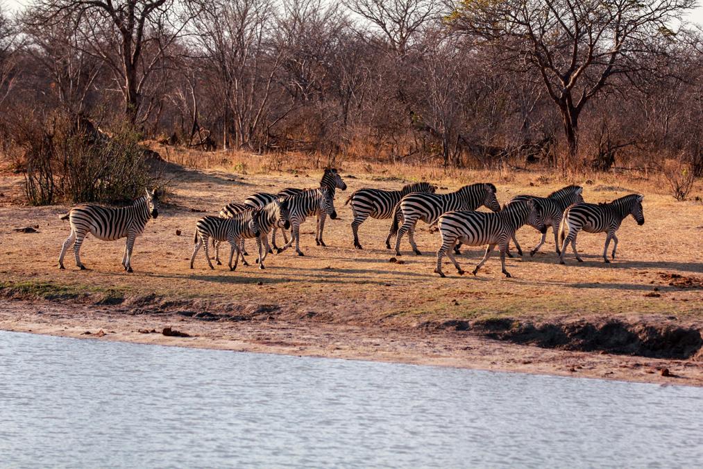 Zèbre de Burchell (Equus quagga burchellii) au Zimbabwe