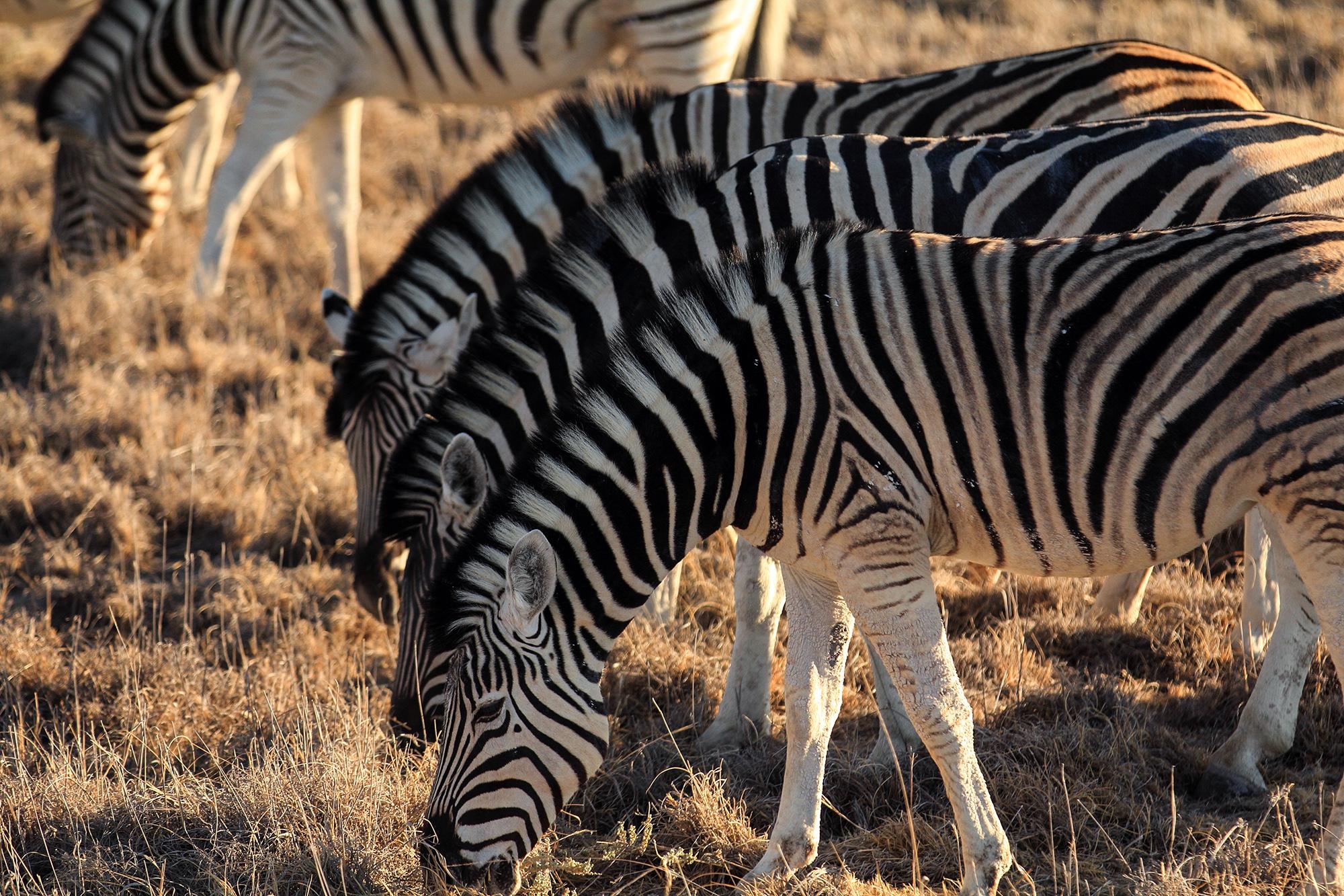 Zèbre des plaines (Equus quagga) en Namibie par Guillaume Projetti