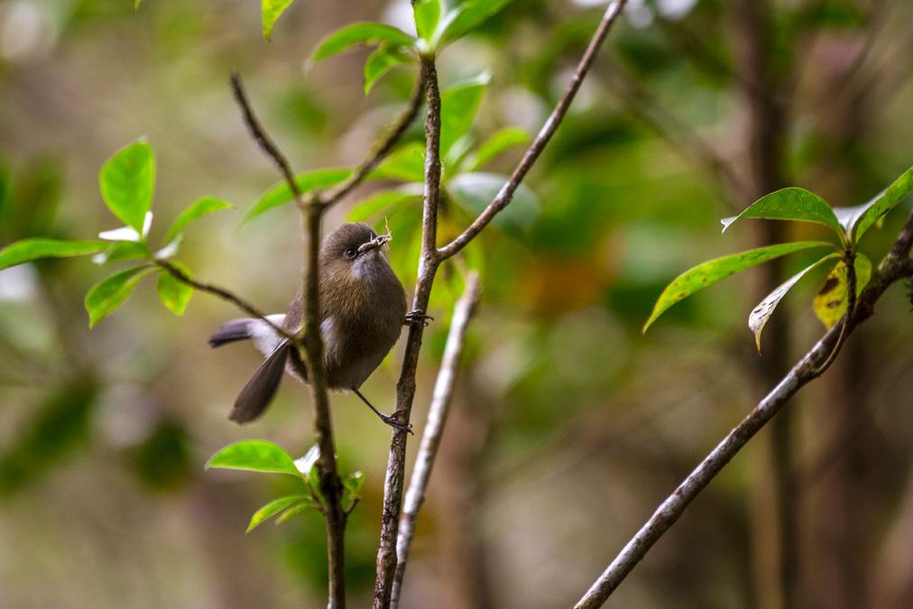Zostérops des Mascareignes (Zostérops des Mascareignes) à la Réunion