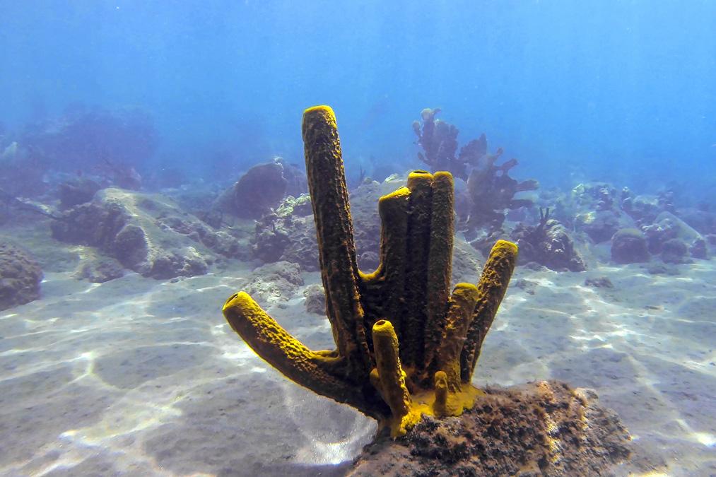 Éponge tubulaire jaune (Aplysina fistularis) de l'île Sainte-Lucie