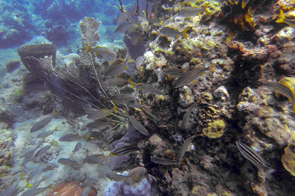 Grogneur à petite bouche (Haemulon chrysargyreum) de l'île Sainte-Lucie