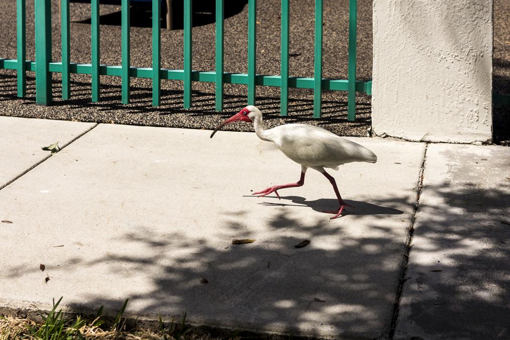 Ibis blanc (Eudocimus albus) en Floride