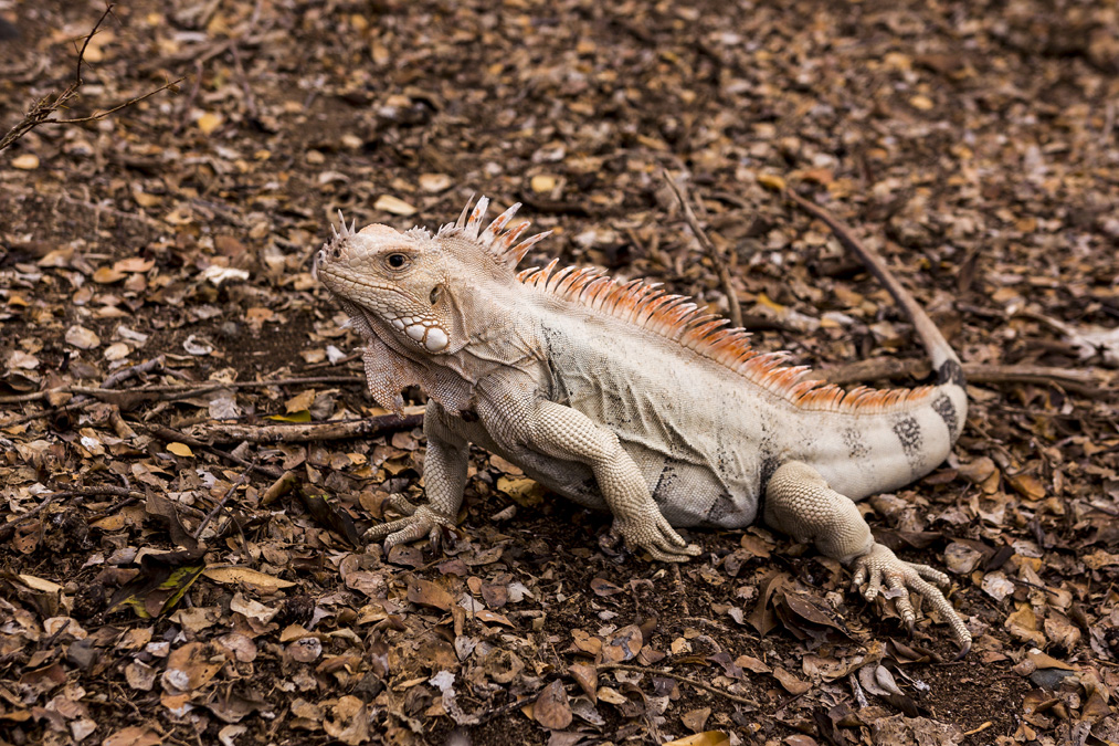 Iguane des Petites Antilles (Iguana delicatissima) aux Grenadines